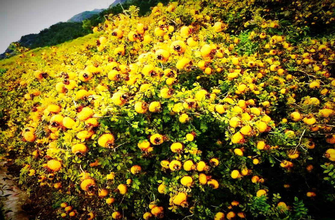 金黄色的刺梨果树