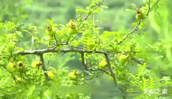 刺梨可以做保健品吗?刺梨的果实同时也是加工保健食品的上等原料