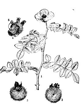 """""""刺梨""""考——刺梨的珍贵古代文献。"""