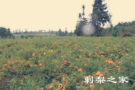 刺梨果的特点有哪些?中国贵州刺梨果的特点