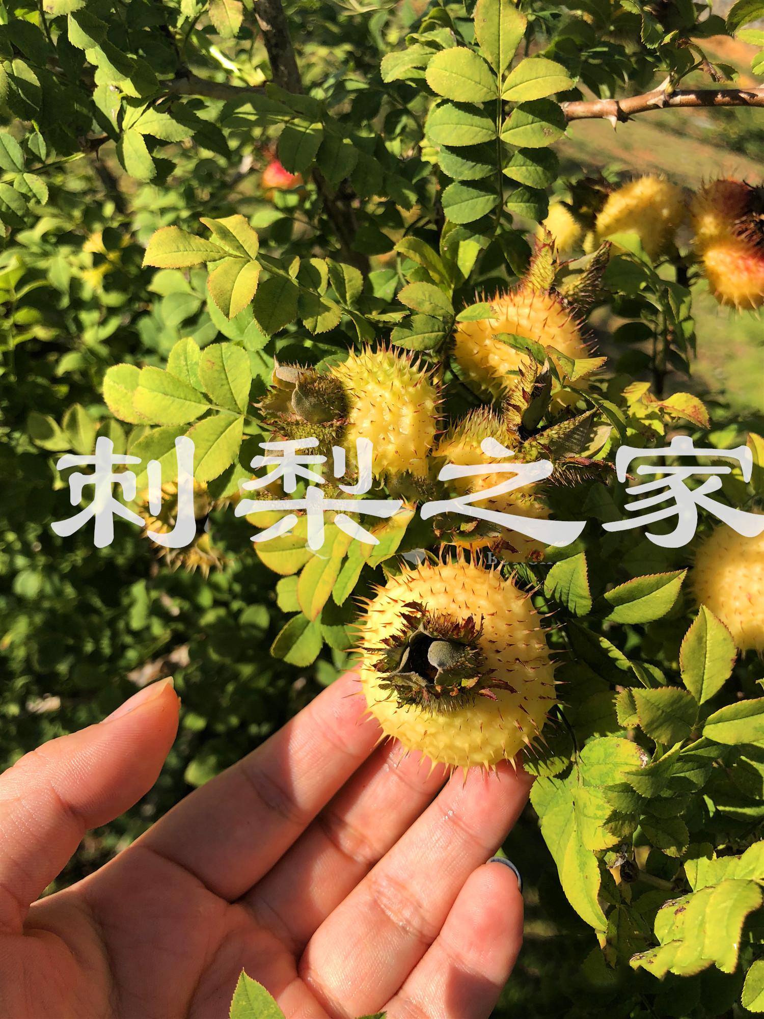 刺梨汁萃取工艺详细说明