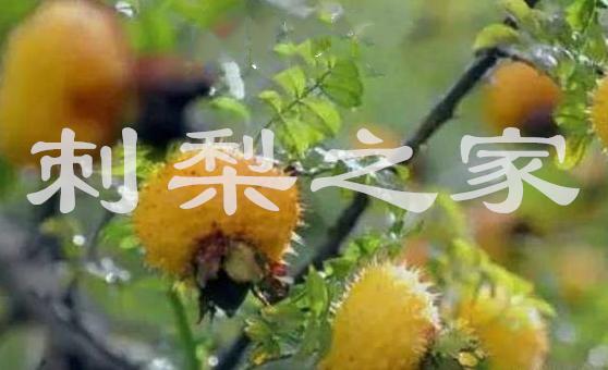 刺梨不宜与什么一起吃?