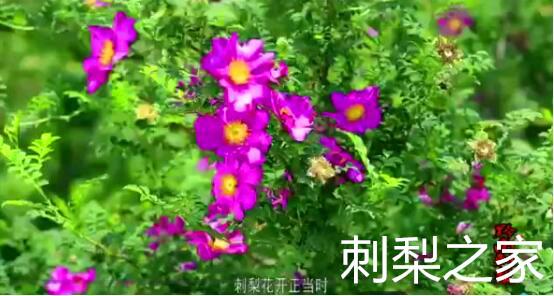 刺梨可以做出哪些花样吃法?