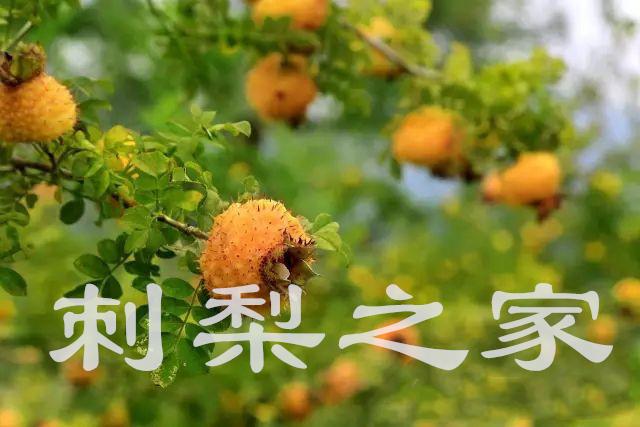 刺梨的药用成分有什么?