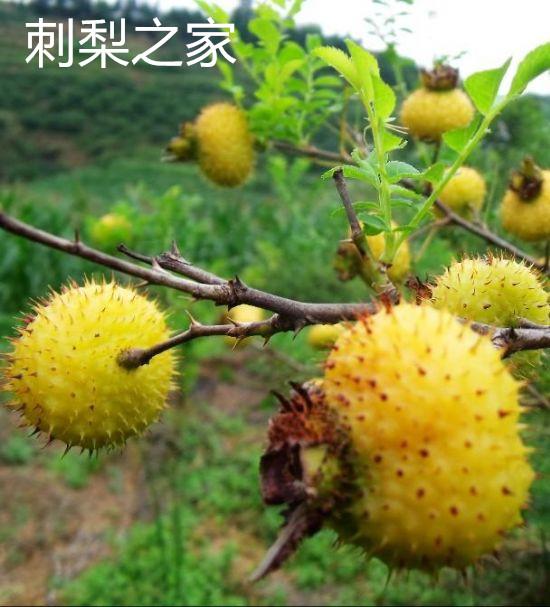 刺梨有哪些营养价值呢?