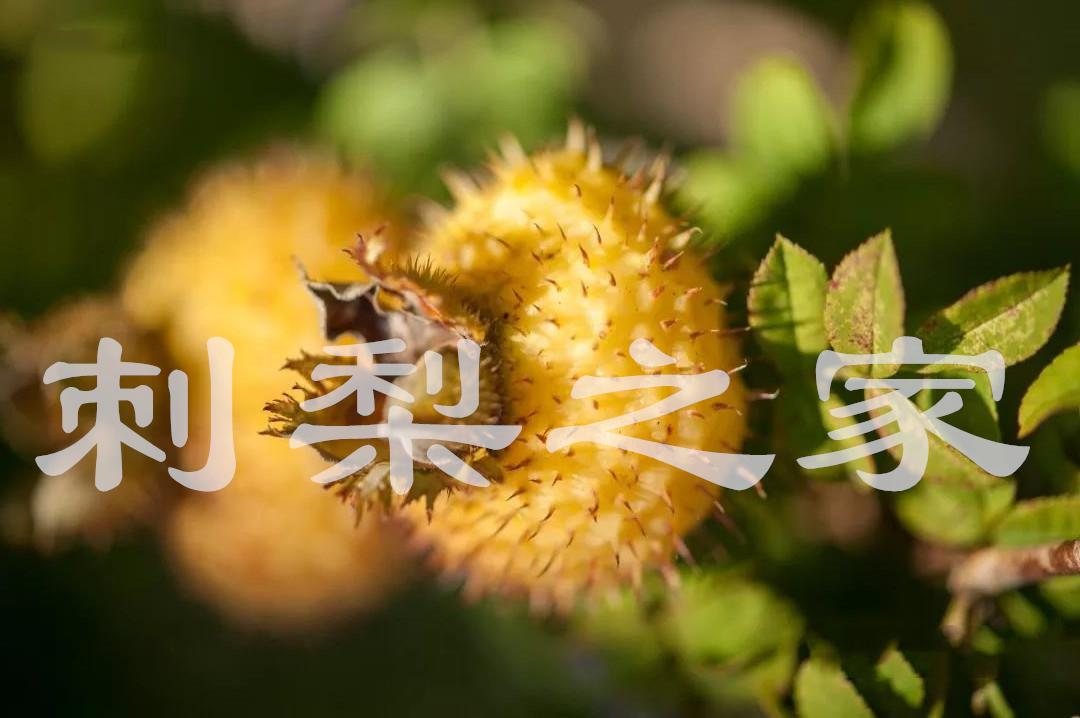 刺梨对人体吸收和效果怎么样?