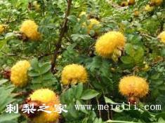 刺梨子籽能种植吗?