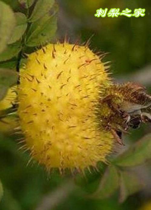 刺梨对于黄褐斑眼袋有效吗?