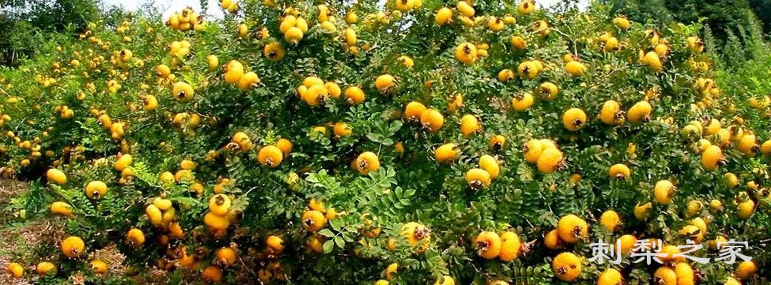 刺梨含维生素有多少种?对于人体有什么作用?