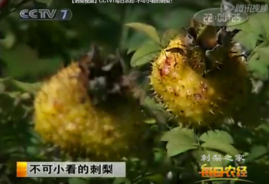 【刺梨视频】CCTV7每日农经-不可小看的刺梨!