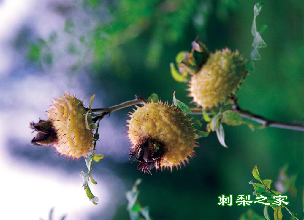 吃刺梨有禁忌吗?